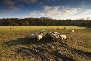 Image of sheep on lancashire farm
